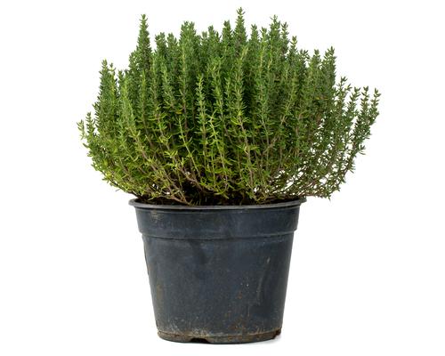 thym vers pot (plant)