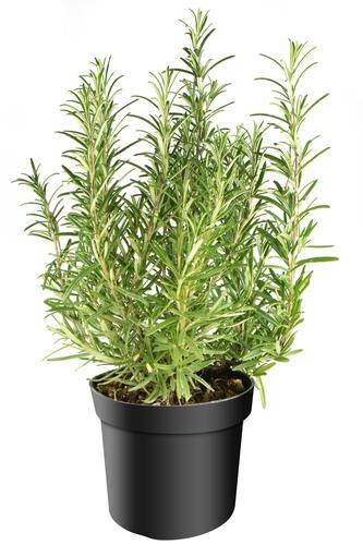 rozemarijn plantje