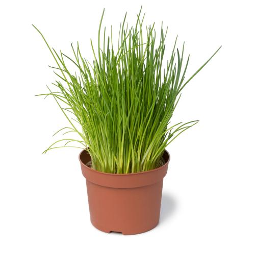 bieslook plantje